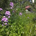Nachtviolen, die Lieblingsblumen von Aino, die vor uns in diesem Haus gewohnt hat